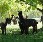 Providing a full range of alpaca mentoring ...